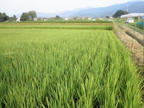 稲の花11