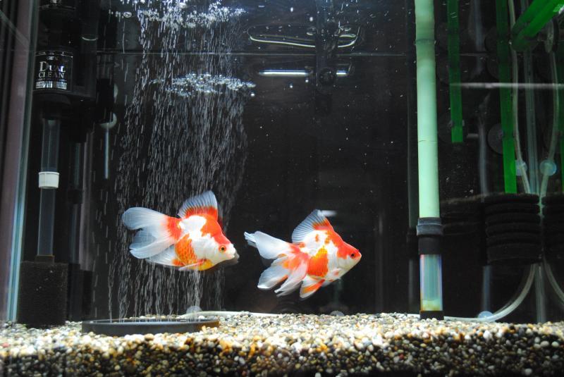 11/26 金魚60cm水槽
