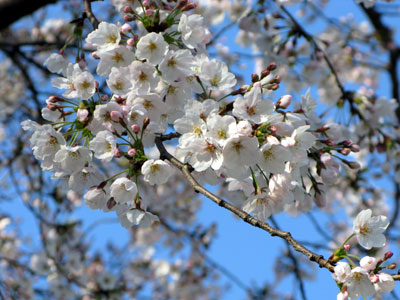 桜2012.4.1
