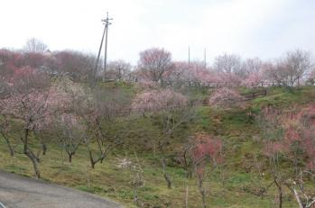 津山市神代梅の里公園梅開花状況(平成24年3月30日現在)