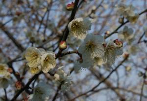 津山市神代梅の里公園梅開花状況(平成24年4月4日現在)