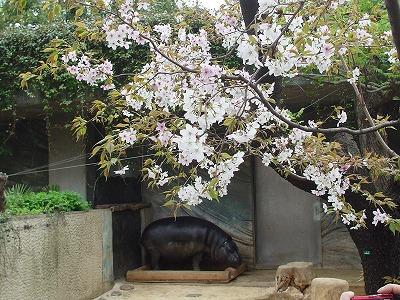 上野公園桜②