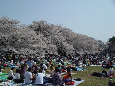 小金井公園桜①