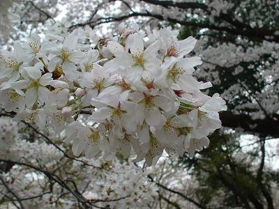 小金井公園桜②