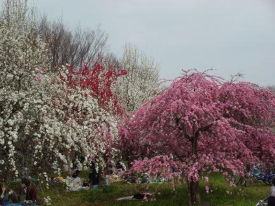 小金井公園桜③