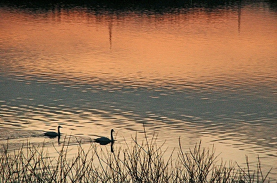 白鳥と夕日の写真2