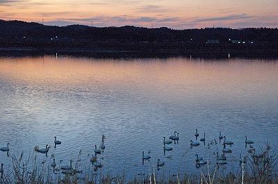 白鳥と夕日 写真1