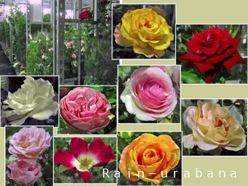 大鉢仕立ての薔薇