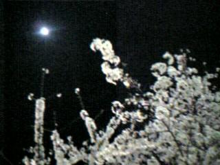 夜桜とお月様
