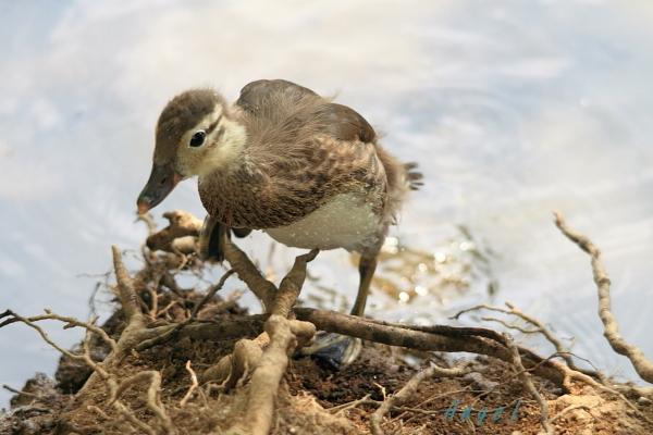 オシドリ幼鳥(37555)