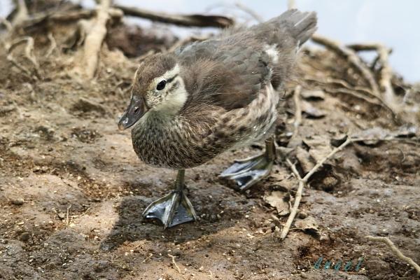 オシドリ幼鳥(37550)