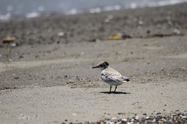 アカアシアジサシ幼鳥(37649)