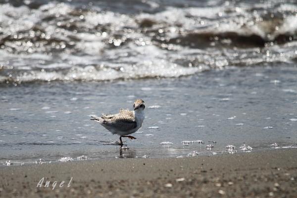 アカアシアジサシ幼鳥(37657)