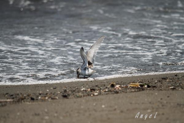 アカアシアジサシ幼鳥(37653)