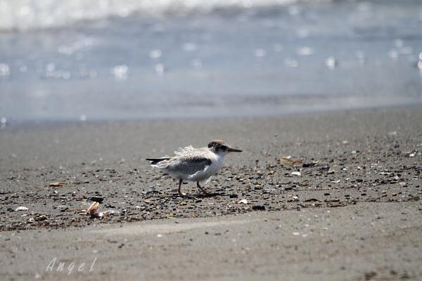 アカアシアジサシ幼鳥(37661)