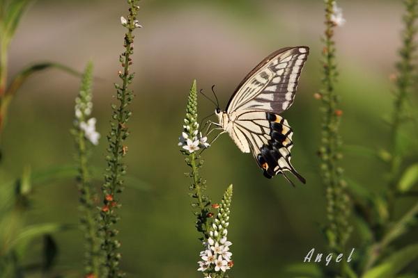 アゲハチョウ(38176)