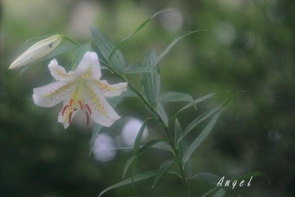 ヤマユリ(38746)