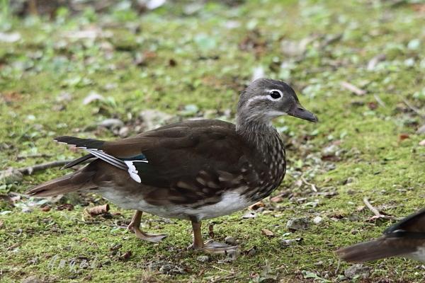 オシドリ幼鳥(39121)