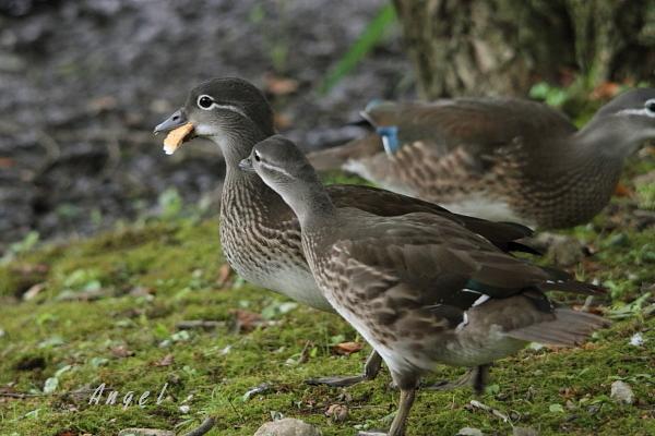 オシドリ幼鳥(39127)