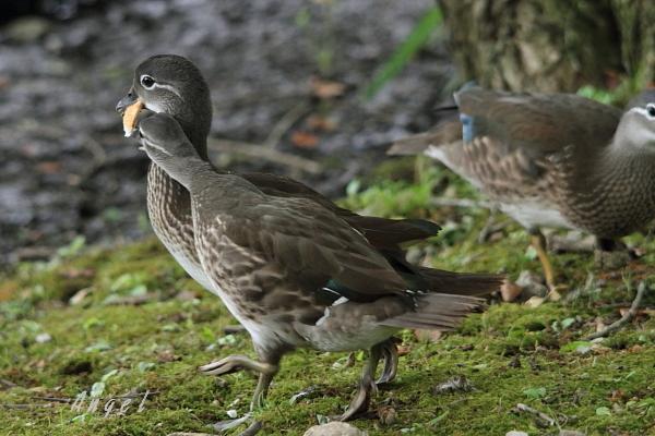 オシドリ幼鳥(39128)