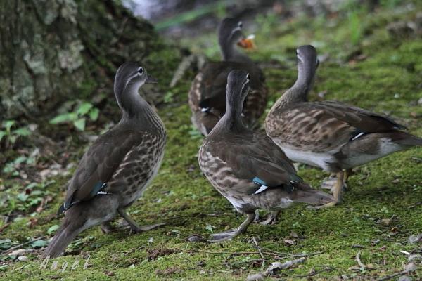 オシドリ幼鳥(30132)