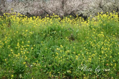 菜の花と梅の木