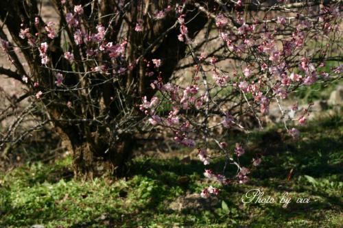梅の木001