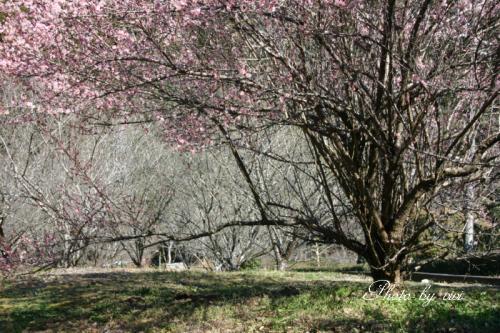 梅の木002
