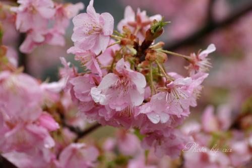 寒桜002