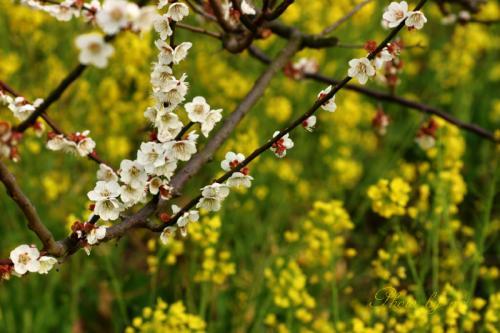 白梅と菜の花