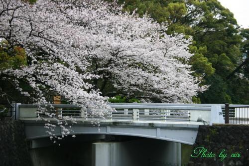 お堀の桜 西門