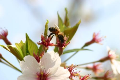 桜と蜂さん