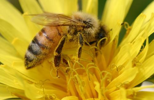 たんぽぽと蜂さん