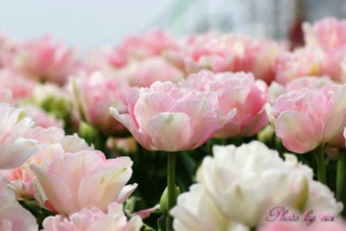 チューリップピンクと白