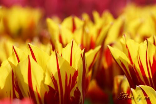チューリップ赤と黄