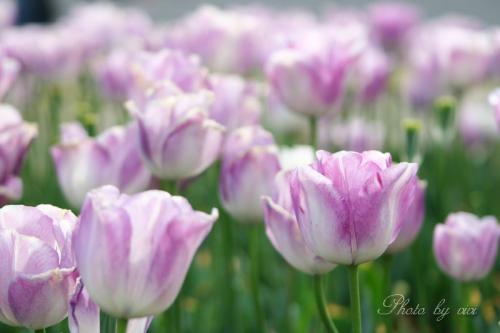 チューリップ薄紫