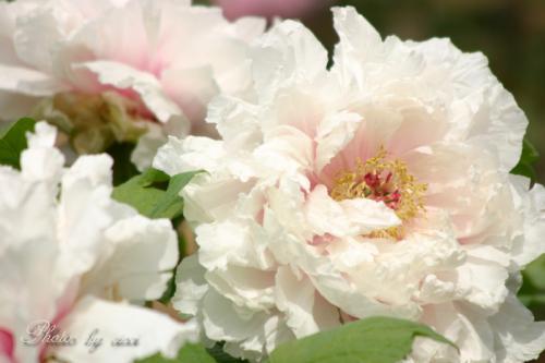 牡丹淡いピンク