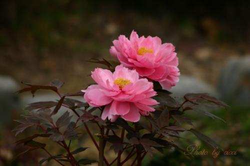 牡丹ピンク02