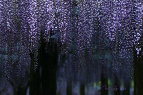 藤の花06