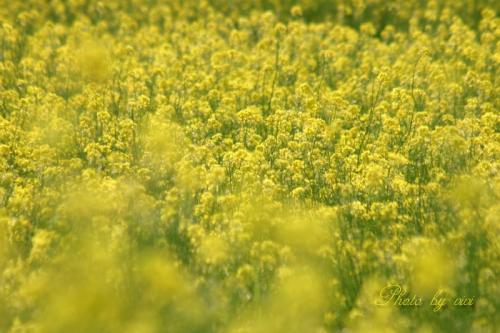 菜の花畑01