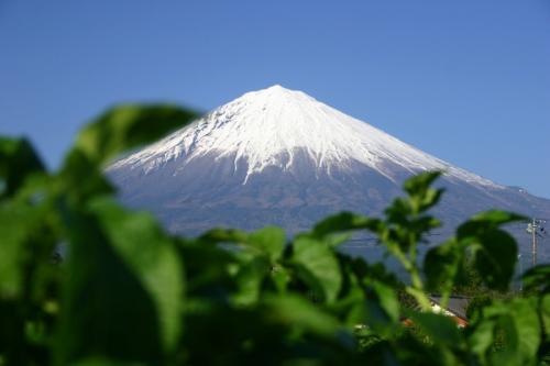 ジャガイモの葉と富士山