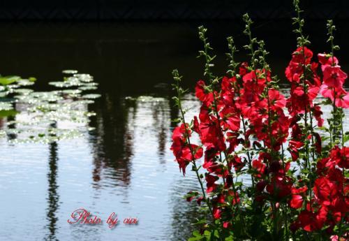 池とタチアオイ