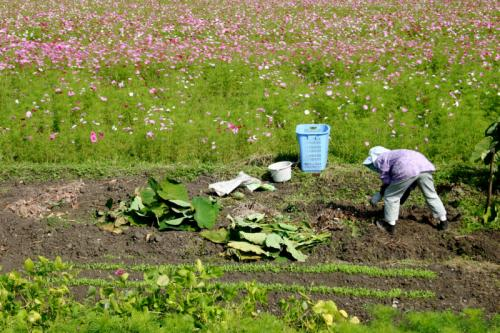 農家のおばちゃんとコスモス畑
