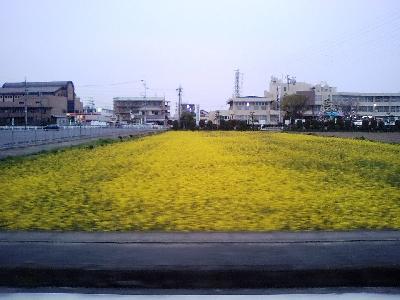菜の花畑~に