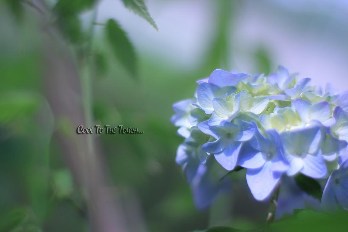 ajisai002.jpg