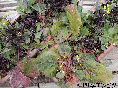 20110220 紅菜苔 1