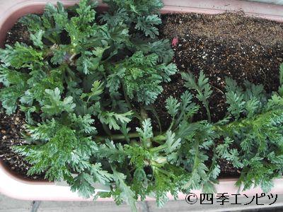 20110212 春菊