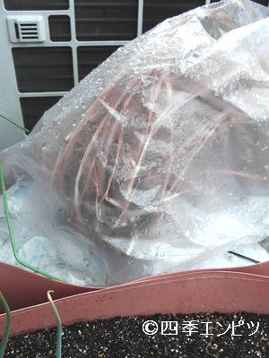 20110212 レモングラス 移植前