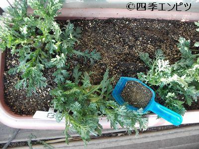 20110227 春菊 追肥