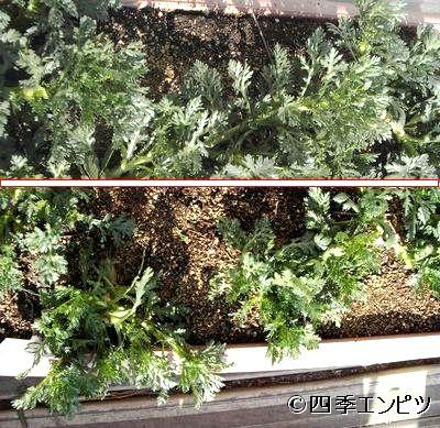 20110227 春菊 収穫前後